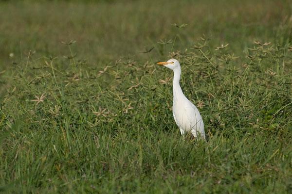 Kuhreiher (Florida, Oktober 2009)
