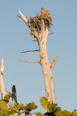 Virginia-Uhu Ästlinge und Altvogel, W (Florida, März 2013)