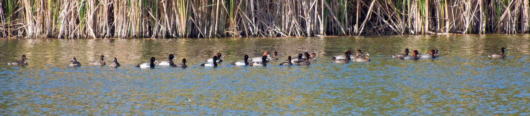 Kleine Bergenten und Rotkopfenten (Florida, Januar 2012)
