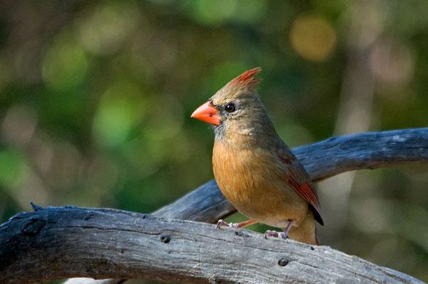 Roter Kardinal ♀ (Florida, Januar 2013)