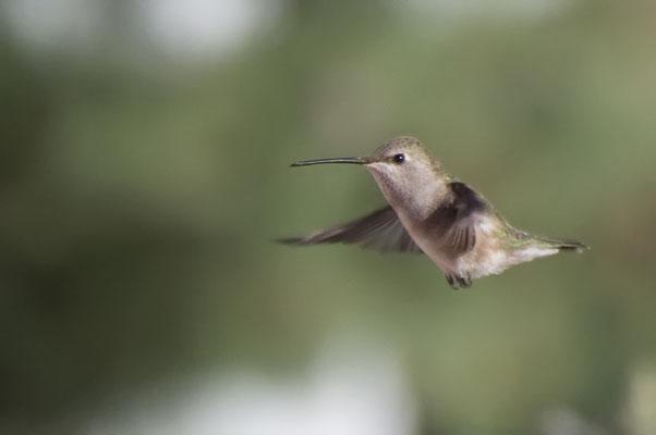 Schwarzkinnkolibri (New Mexico, Mai 2011)