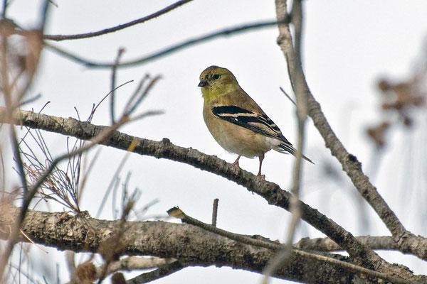 Goldzeisig ♀ (Florida, Dezember 2009)