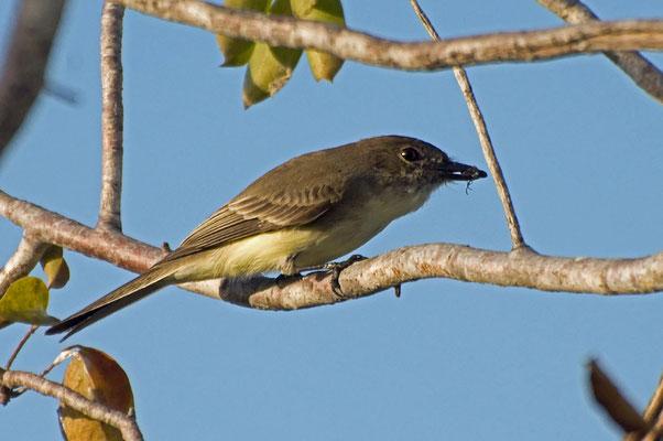 Weißbauch-Phoebetyrann (Florida, November 2010)