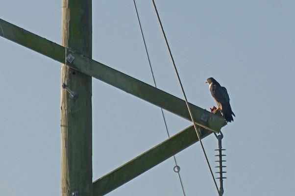 Wanderfalke (Florida, Februar 2012)
