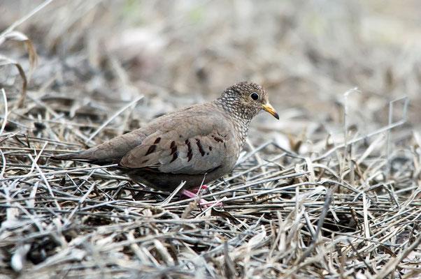 Sperlingstäubchen (Florida, März 2013)