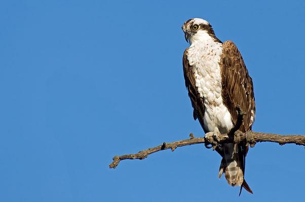 Fischadler (Kalifornien, Mai 2011)