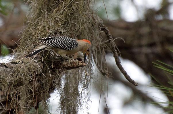 Carolinaspecht ♀ (Florida, Februar 2012)