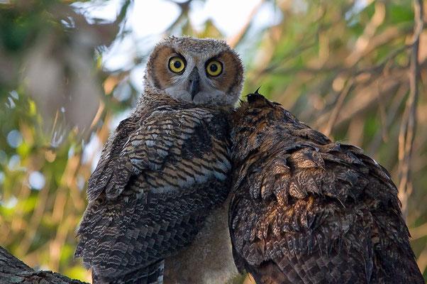li. juv. Virginia-Uhu, re. adultes Weibchen (Florida, April 2012)