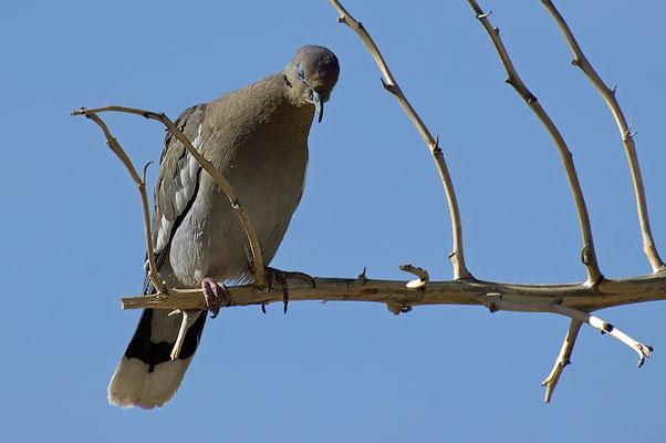 Weißflügeltaube und Bullennatter (New Mexico, Mai 2009)