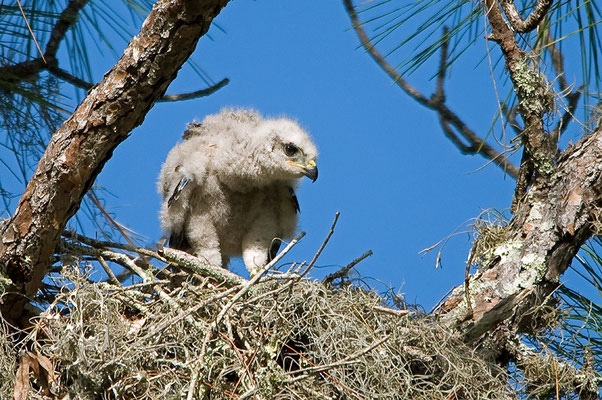 Rotschulterbussard Nestling (Florida, April 2012)