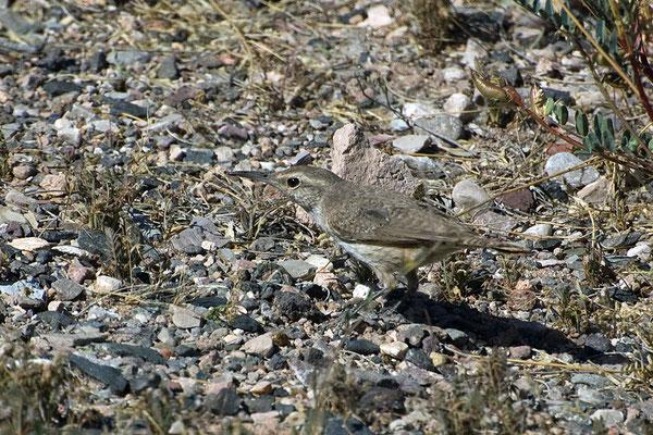 Felsenzaunkönig (Arizona , Mai 2009)
