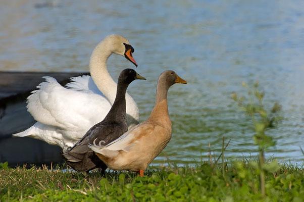 Höckerschwan und domestizierte Enten (Florida, März 2010)