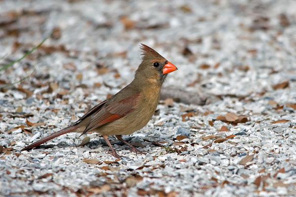 Roter Kardinal, W (Florida, März 2014)