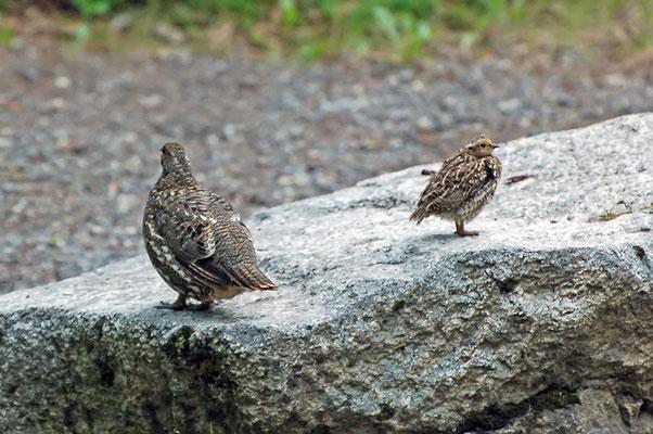 Tannenhuhn Henne und Junges (Alaska, Juli 2008)