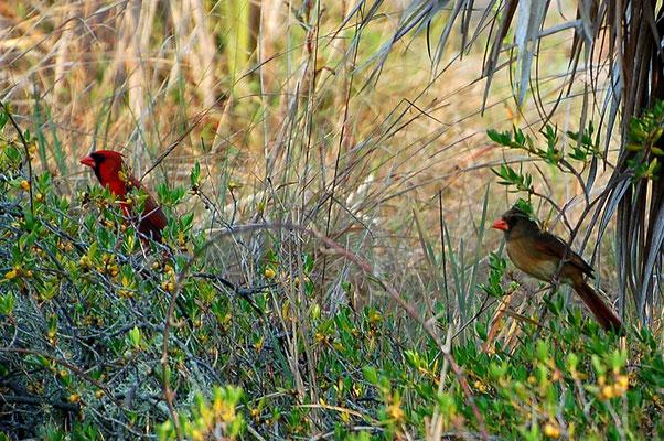 Roter Kardinal (Florida, April 2007)