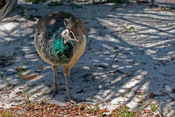 Blauer Pfau, Weibchen (Florida, April 2010)