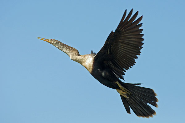 Schlangenhalsvogel (Florida, Juni 2010)