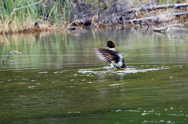 Spatelente (Kanada, Juni 2008)