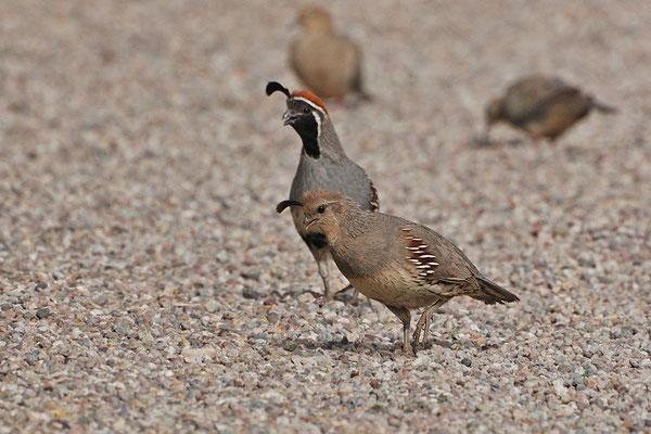 Gambelwachteln, Hahn und Henne (Arizona, Mai 2009)