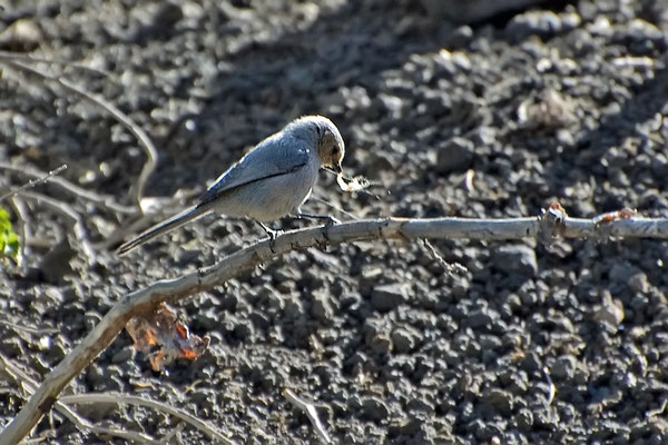 Goldköpfchen (Arizona, Mai 2009)