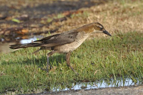 Junger Bootschwanzgrackel (Florida, Juni 2009)