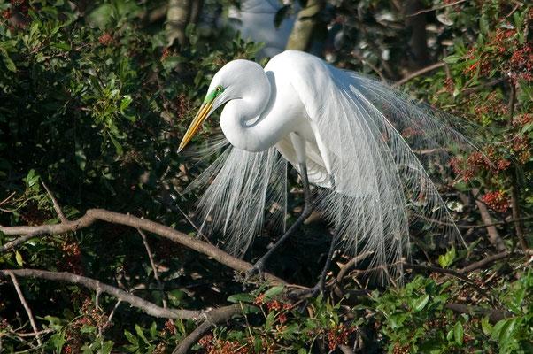 Amerikanischen Silberreiher (Florida, Januar 2013)