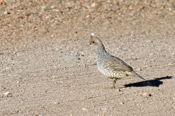 Schuppenwachtel (New Mexico, Mai 2011)