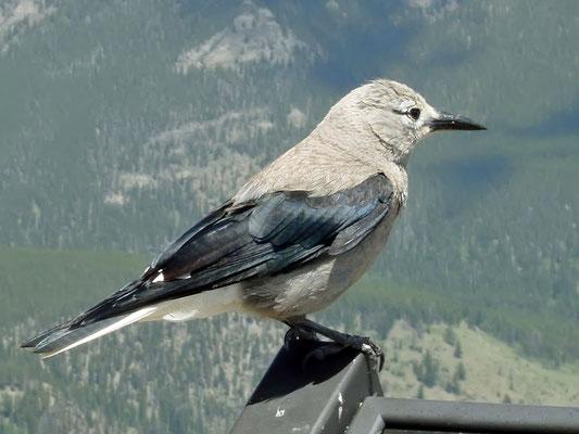 Kiefernhäher (Colorado, Juni 2002)