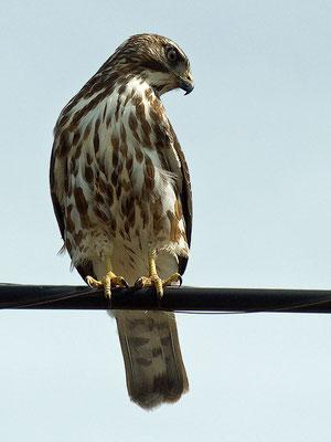 Junger Breitschulterbussard - Broad-winged Hawk (Buteo platypterus)
