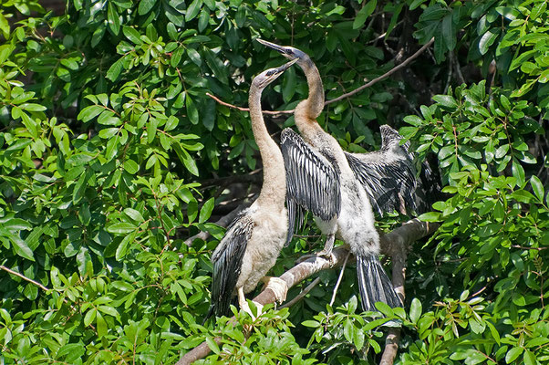 Junge Schlangenhalsvögel (Florida, Mai 2010)