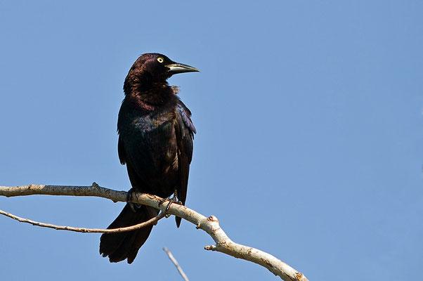 Purpurgrackel (Florida, April 2012)