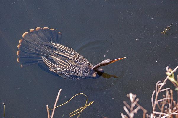 Schlangenhalsvogel (Florida, Dezember 2007)