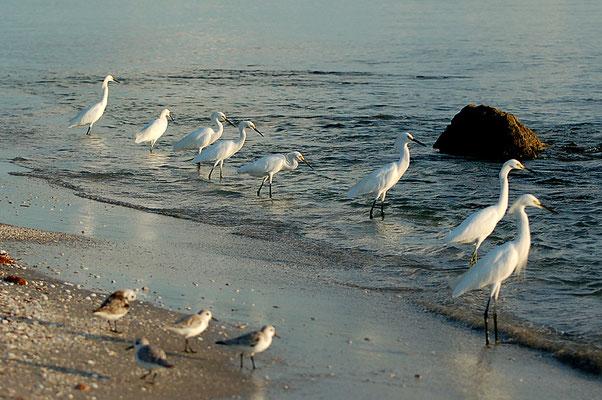 Schmuckreiher und Sanderlinge (Florida, Oktober 2007)