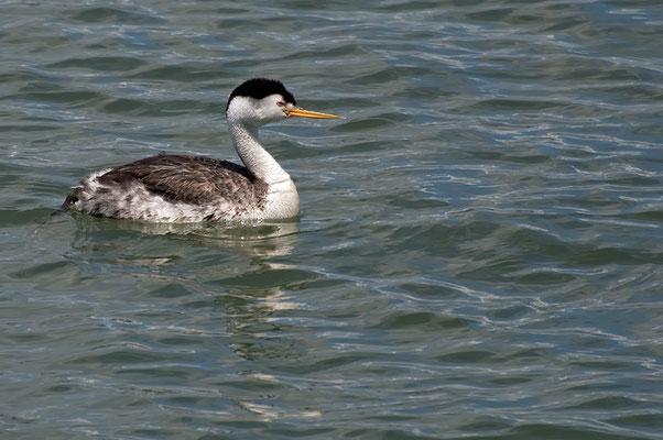 Clarktaucher (Kalifornien, Mai 2011)