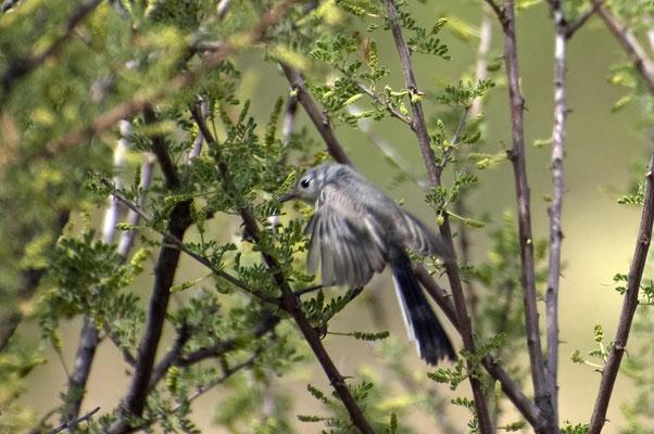 Schwarzschwanz-Mückenfänger ♂, M (Arizona, Mai 2009)