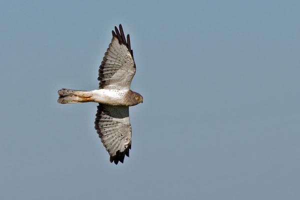 Hudsonweihe ♂ (Florida, November 2010)