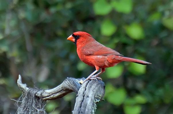 Roter Kardinal, M (Florida, Februar 2012)