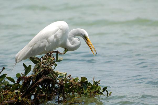 Amerikanischen Silberreiher (Florida, Mai 2007)