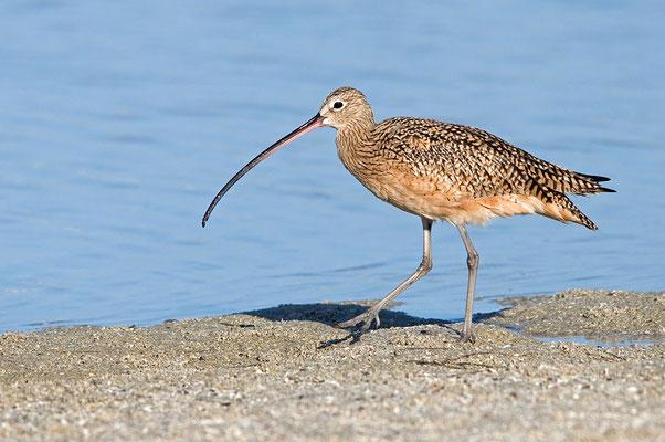 Amerikanischer Brachvogel (Florida, März 2012)
