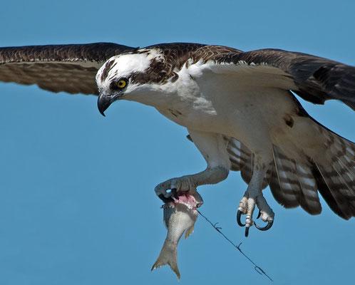 Fischadler (Florida, Februar 2013)