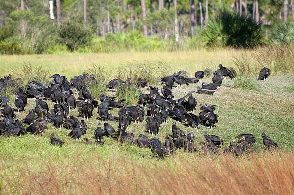 Schwarze Geier (Florida, Oktober 2010)