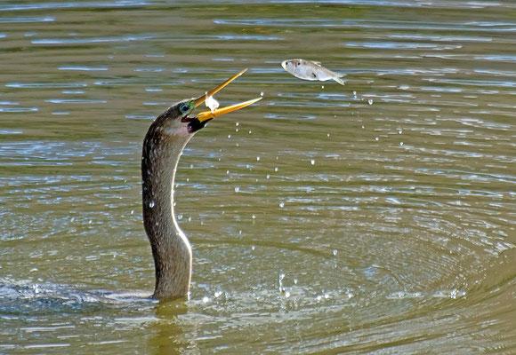 Schlangenhalsvogel (Florida, Februar 2012)