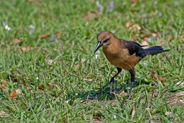 Bootschwanzgrackel ♀ (Florida, März 2010)