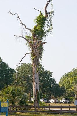 Snag wird so ein abgestorbener Baumstumpf genannt