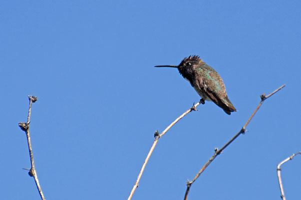Schwarzkinnkolibri (Arizona, Mai 2011)