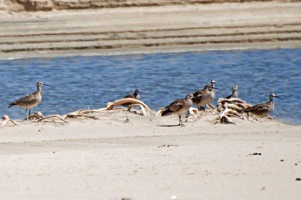 Regenbrachvögel (Kalifornien, Mai 2011)