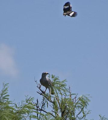 Graubussard wird von Spottdrossel attackiert (Texas, April 2009)