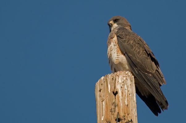Präriebussard (New Mexico, Mai 2011)
