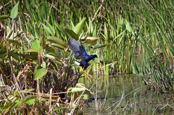 Zwergsultanshuhn (Florida, März 2013)