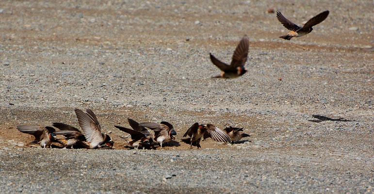 Fahlstirnschwalben (Kanada,  Juni 2008)